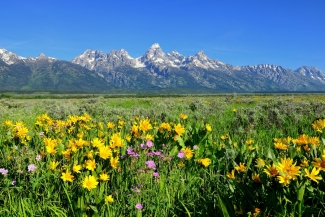 Wildflowers Beneath the Tetons