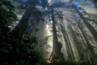 Redwood God Rays