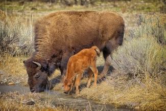 Bison Mother with Newborn