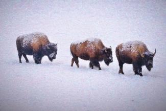 Bison March
