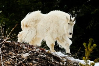 Majestic Mountain Goat
