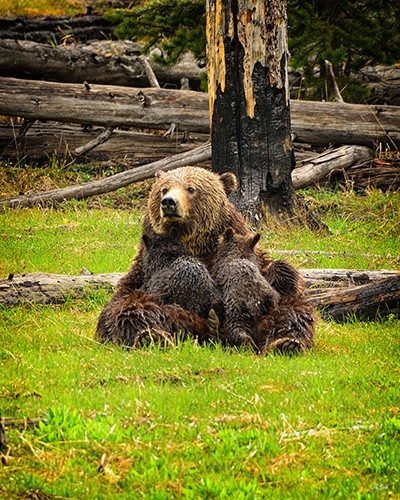 grizzly bear nursing two cubs