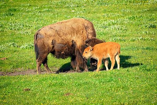 Yellowstone bison with newborn calf