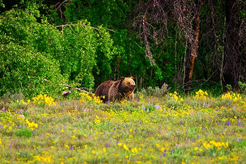 Blondie the grizzly sow in Grand Teton National Park