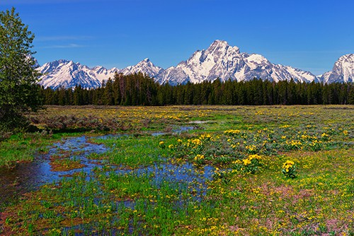 Spring wildflowers along Pilgrim Creek meadow in Grand Teton National Park