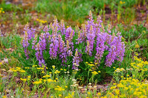 Blooming lupines in Grand Teton National Park