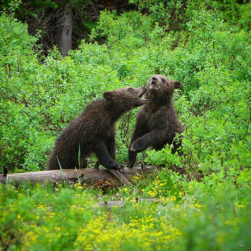 grizzly-cubs-sparring.jpg
