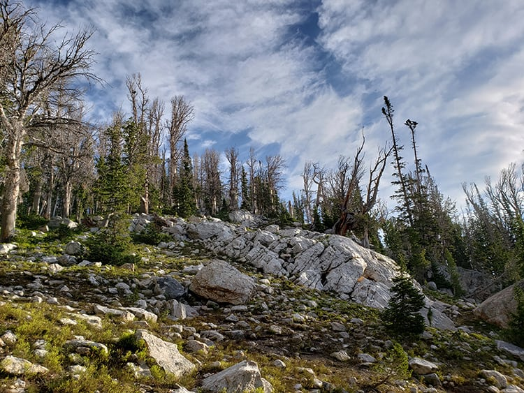 whitebark pine forest killed by pine beetles