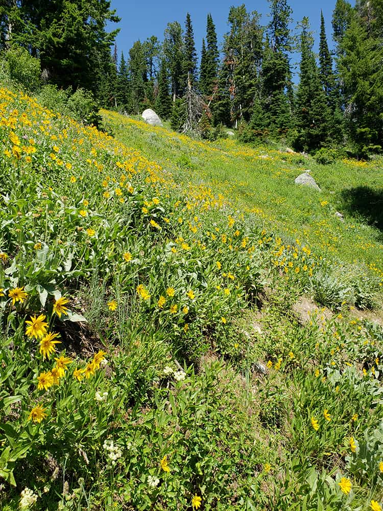 arrowleaf balsam root wildflowers along trail in Grand Teton National Park