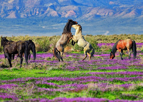 Onaqui stallions spar in a field of purple mustard wildflowers in western Utah