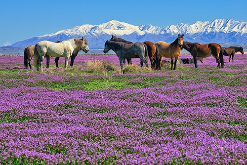 Onaqui wild horse herd in a field of purple mustard wildflowers