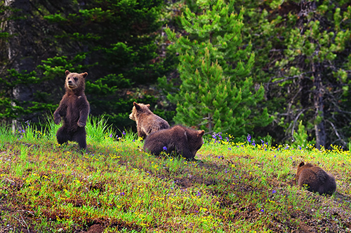 2020 grizzly cubs born to 399