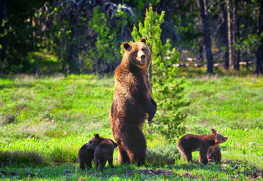 Teton Grizzly 399 with cubs