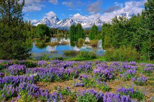 Teton-Spring-Lupines.jpg
