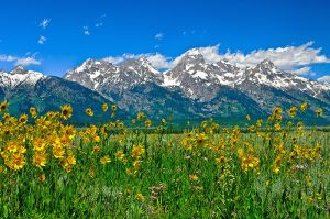 Tetons-Peaks-and-Flowers.jpg