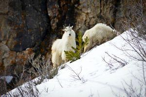 Curious-mountain-goat.jpg