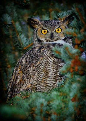 Great-Horned-Owl.jpg