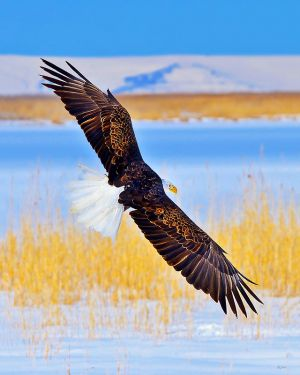 bald-eagle-wingspan.jpg