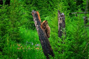 black-bear-in-a-tree.jpg