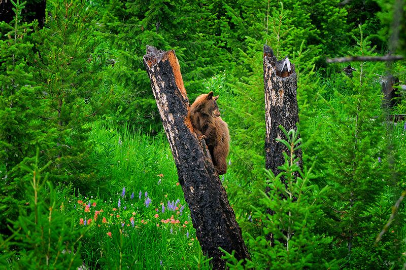 black-bear-in-a-tree.jpg