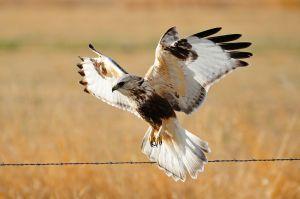 rough-legged-hawk.jpg